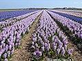 Texel - Pontweg - View ESE on field of Hyacinths.jpg