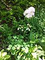 Thalictrum aquilegiifolium sl1.jpg