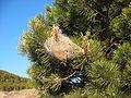 Thaumetopoea pityocampa nest 2.jpg