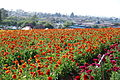 The Flower Fields at Carlsbad Ranch 81 2014-04-28.jpg