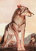 The Two Jungle Books 1895 Akela, the Lone Wolf.jpg