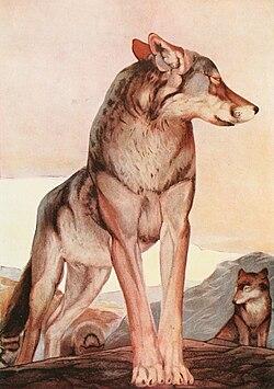 Un loup, illustration de 1895 pour un livre de Kipling