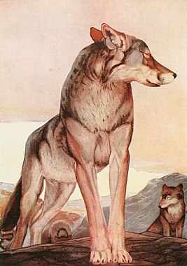 The Two Jungle Books 1895 Akela, the Lone Wolf.jpg