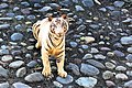 The White Bengal Tiger,.jpg