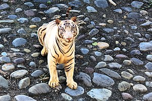 Zirakpur - Image: The White Bengal Tiger,