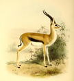 The book of antelopes (1894) Gazella thomsoni.png