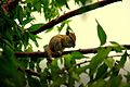 Three striped palm squirrel.jpg