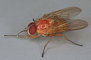 <i>Thricops diaphanus</i> species of insect