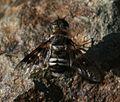Thyridanthrax fenestratus - a beefly sp..jpg