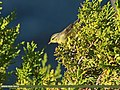 Tickell's Leaf Warbler (Phylloscopus affinis) (20534322456).jpg