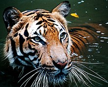 Malayan Tiger in the water.