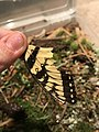 Tiger swallowtail wing section.jpg