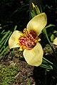 Tigridia pavonia, Conservatoire botanique national de Brest 05.jpg