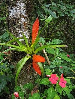 Tillandsia multicaulis (epiphyte) and Impatiens in Costa Rica.jpg