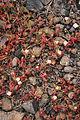 Tinajo El Cuchillo - Lugar de Cuchillo (Caldera) - Mesembryanthemum nodiflorum 04 ies.jpg