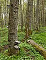 Tinder fungus on a dead pine in Gullmarsskogen.jpg