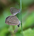 Tiny Grass Blue, Zizula gaika mating in Talakona forest, AP W IMG 8117.jpg