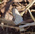 Tiny Grass Blue. Zizula hylax. Lycaenidae - Flickr - gailhampshire.jpg