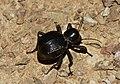 Toktokkie beetle (Tenebrionidae) (6227994706).jpg