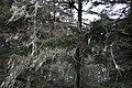 Tongass National Forest Usnea.jpeg