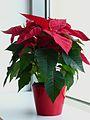 Topfpflanze Euphorbia pulcherrima mit Glitter.JPG