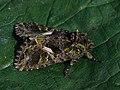 Trachea atriplicis - Orache moth - Совка лебедовая (40420369564).jpg