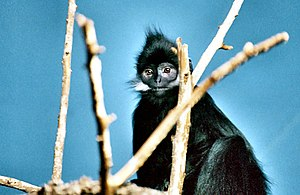 Monkeys in Chinese culture - François' langur