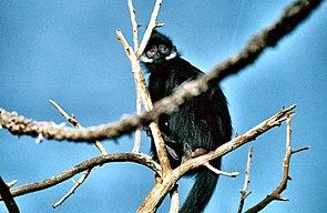 Tonkin-Schwarzlangur (Trachypithecus francoisi)