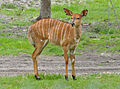 Tragelaphus angasii - female - Disney's Animal Kingdom Lodge - 1.jpg