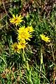 Tragopogon pratensis ENBLA02.jpg