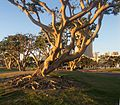 Trees at Embarcadero Marina Park North (00085).jpg