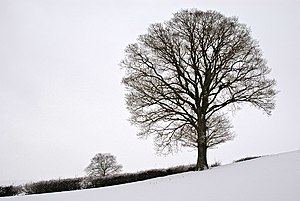 English: Trees in the snow
