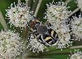 Trichius fasciatus (23153403995).jpg