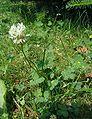 Trifolium-repens-total.JPG