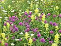 Trifolium alpestre2.JPG
