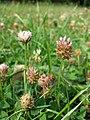 Trifolium fragiferum (subsp. fragiferum) sl47.jpg