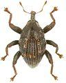 Trigonopterus zygops holotype - ZooKeys-280-001-g101.jpg