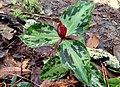 Trillium foetidissimum in bloom.jpg