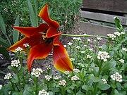 Tulip-opened up.jpg