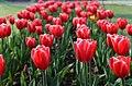 Tulip 67.jpg