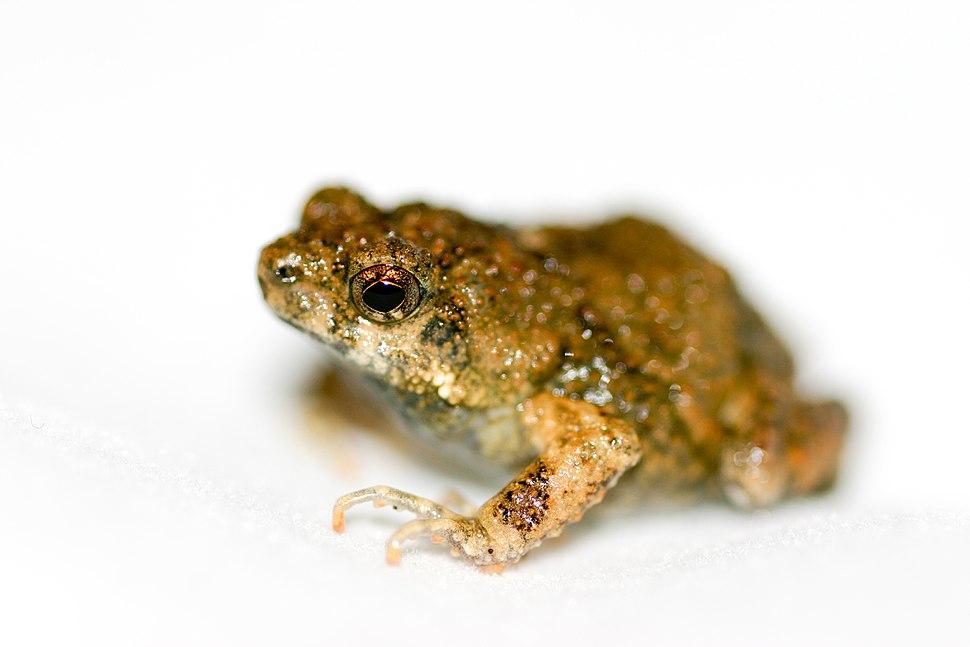 Tungara frog (Physalaemus pustulosus)