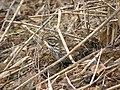Turdus iliacus -Orebro, Sweden-8 (1).jpg