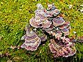 Turkey tail mushroom, plus alder catkins (13335217483).jpg