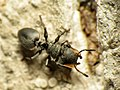 Turtle Ant (16053670463).jpg
