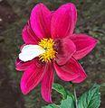 Un Papillon sur une fleur.jpg