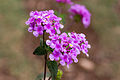 Unidentified flower, Bandungan, Semarang Regency, 2014-09-30 04.jpg