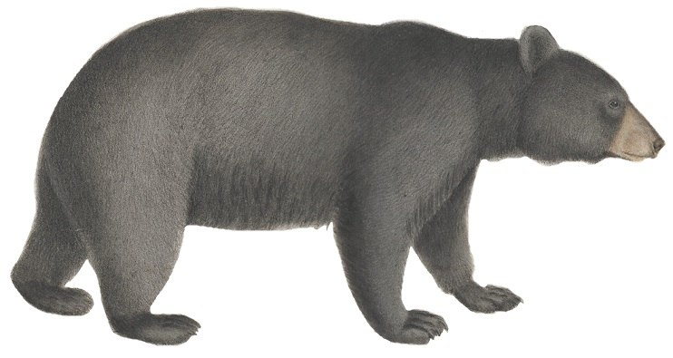 Ursus americanus - 1700-1880 - Print - Iconographia Zoologica - Special Collections University of Amsterdam - (white background)
