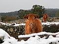 Vacas nas Penizas, Valongo, Cotobade.jpg