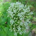 Valeriana officinalis 2104.jpg