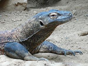 English: Komodo dragon (Varanus komodoensis)